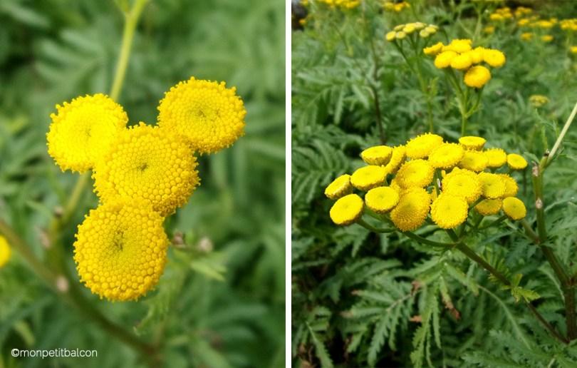 L'automne arrive sur mon petit balcon : fougères et fleurs jaunes de fougères