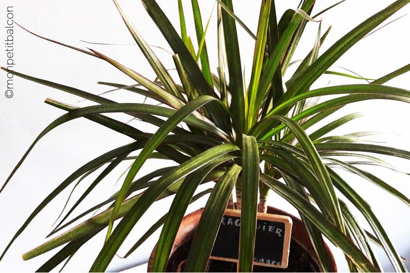 dragonnier de madagascar plante d polluante d 39 appartement mon petit balcon. Black Bedroom Furniture Sets. Home Design Ideas