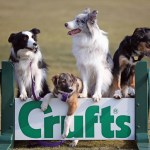 BIRMINGHAM, ENGLAND - MARCH 05:  Collie cross Tiff (2nd left), a five-month-old homeless rescue dog joins Collie dogs Holly (L) Frostie and Jimmy (R) who are competing at Crufts 2013 and have all come from Valgrays Border Collie Rescue Centre during a photocall to launch Crufts 2013 on March 5, 2013 in Birmingham, England. During this year's four-day competition over 22,000 dogs and their owners will vie for a variety of accolades but ultimately seeking the coveted 'Best In Show'.  (Photo by Christopher Furlong/Getty Images)