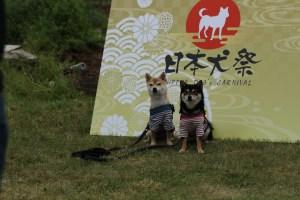 モラキジドッグ 日本犬祭