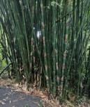 Vaipahi Gardens Bamboo