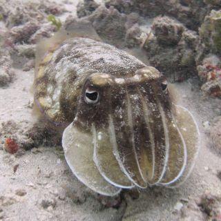 Mellow cuttlefish