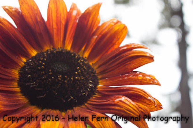 sunflower screen saver, screensavers, freebies