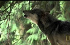 A Man Among Wolves (2007)