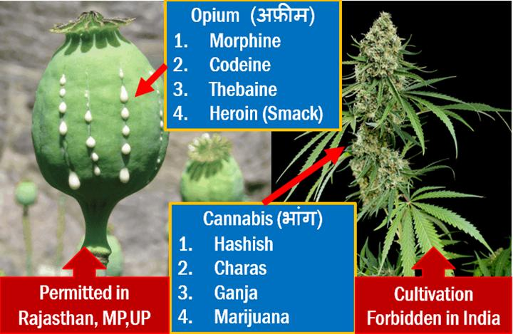 Opium Cultivation in India