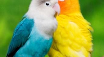 Ciri khusus dan cara membedakan lovebird jantan dan betina