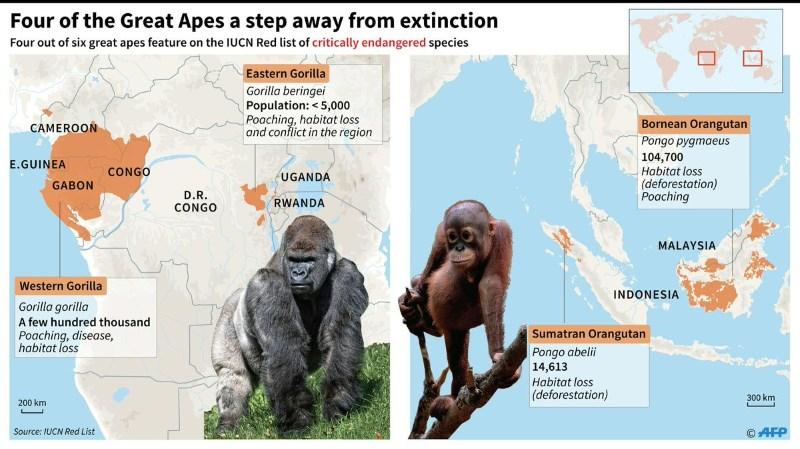 Gorialla now critically endangered