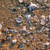Small clam and other shells along with pebbles washed up on sand shore of Chesapeake Bay in evening light.