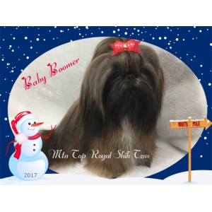 Masterly Sale Ga Imperial Shih Tzu Weight Chart Meet Tiny Male Akc