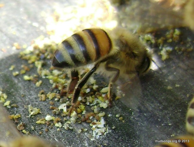 Honey bee fanning.  (May 26, 2013.)
