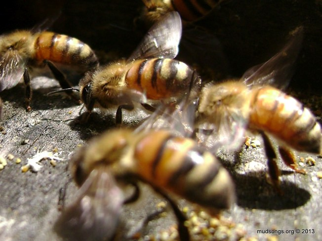 Honey bees fanning.  (May 26, 2013.)