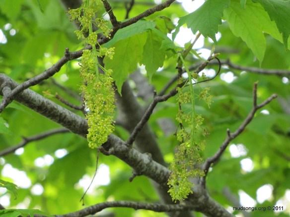 Maple blossoms in St. John's, Newfoundland. (June 19, 2011.)