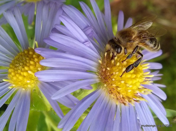 Honey bee on some blue flower in Flatrock, Newfoundland (Aug. 24, 2015.)