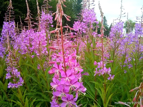 Cell phone snapshot of fireweed in Eastport, Newfoundland. (August 9, 2015.)