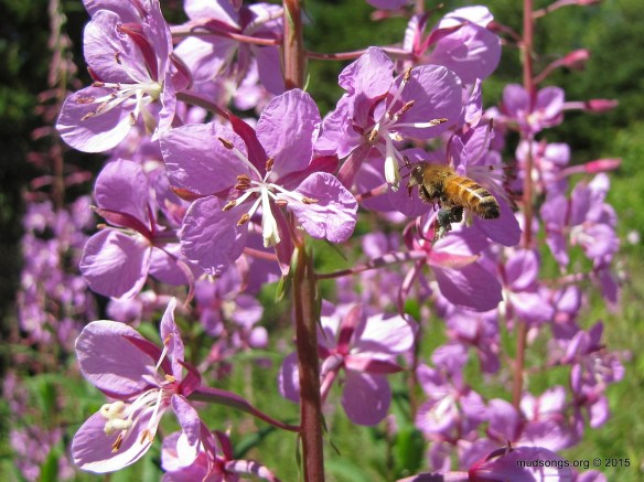 Honey bee on Fireweed in Flatrock, Newfoundland (August 11, 2015.)