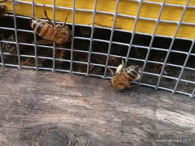 Honey bee bring in pollen on October 25th, 2015 in Flatrock, Newfoundland.