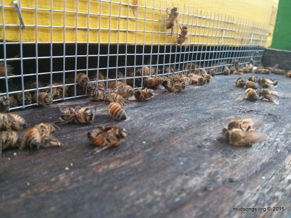The usual number of dead bees for late November in eastern Newfoundland.