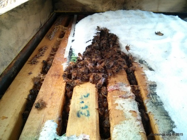 Honey bees inside a 3-deep Langstroth hive eating dry sugar over newspaper that was added a month ago. (December 31, 2015, Flatrock, Newfoundland.)