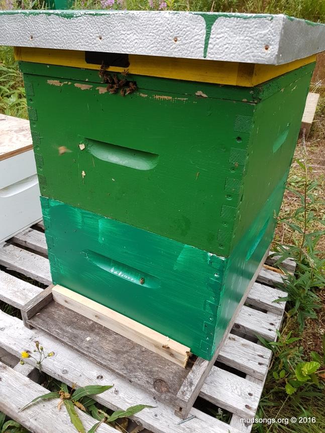 A single-deep nuc is suddenly a 2-deep hive. (July 28, 2016.)