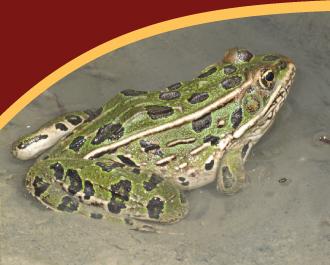 FAQ-leopard-frog