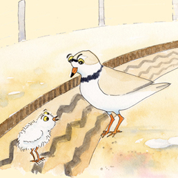 illustration-piping-plover