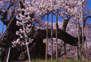 Cerejeira japonesa de 2 mil anos (Foto: Reprodução/YouTube)
