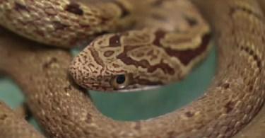 A cobra foi encontrada por um dos passageiros (Foto: Reprodução/NHK:
