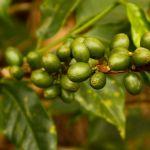 Café verde y té verde, dos aliados naturales a la hora de adelgazar