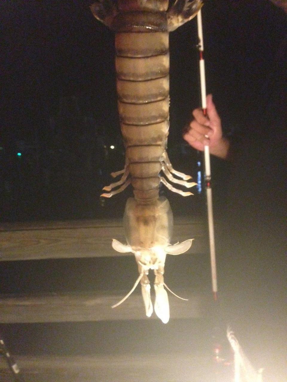Un pescador captura un gigantesco camarón en Florida