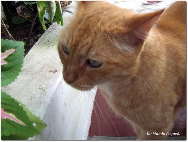 gato brasilero