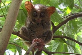 Tarsiers Smallest primate in the world