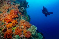 Diver on a soft coral wall