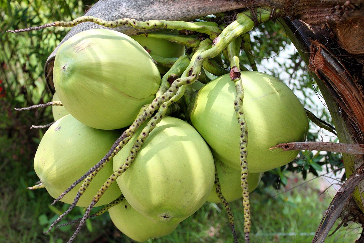 Olej kokosowy = Kokosowy cud?