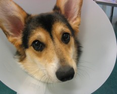 Surgery recovery pet services offered by Must Love Dogs