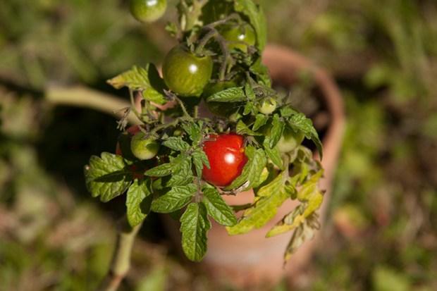 tomat potis