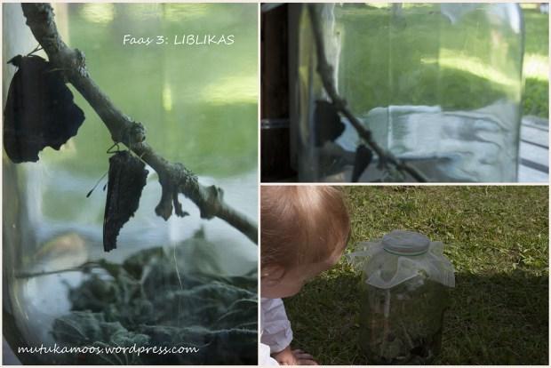 liblika kasvatamine 2