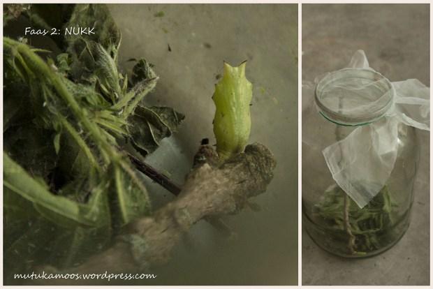 liblika kasvatamine