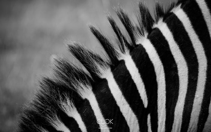 African Screens 16 – Nakuru Zebra