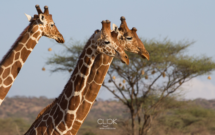 Samburu_National_Park_Giraffe-1