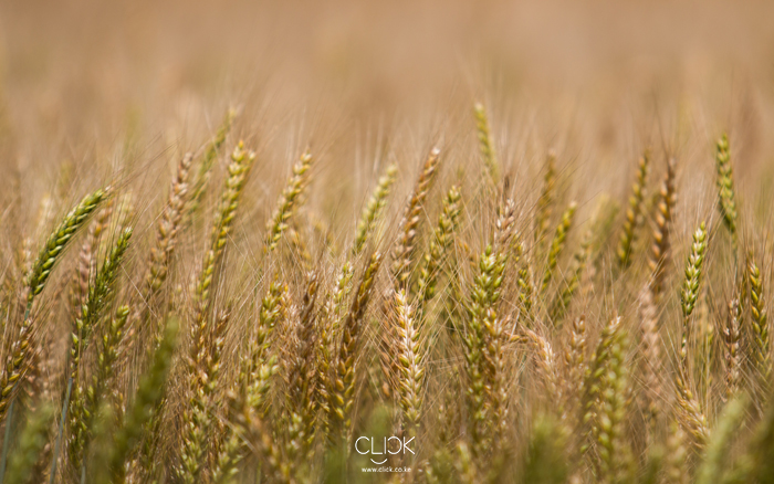 African_Screens_Wallpapers_Timau_Wheat_Blog700px