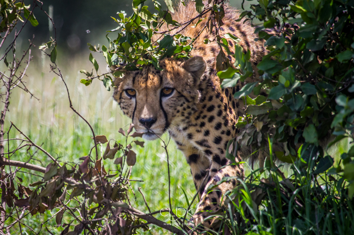 A cheetah shelters from the midday heat at Ol Pejeta Conservancy.