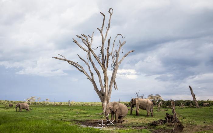African_Screens_Wallpapers_Ol_Pejeta_Elephants-Blog700px