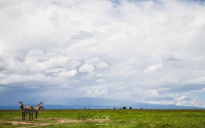 African Screens 39 – Ol Pejeta Zebras