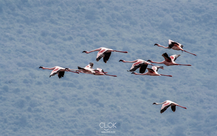 African Screens 52 – Lake Nakuru Flamingoes