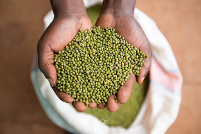 A farmer holds green grams at Mukothima Grain Aggregation Centre in Tharaka North Sub County, Kenya, on 19th July 2016. With help from Agra, farmers in the area have formed organisations to help them get better prices for their harvest by selling in bulk. Farmers deliver their grain to aggregation centres like this one in Mukothima from where they sell their grain.