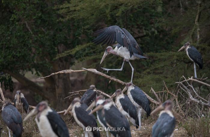 Marbou storks in Nairobi National Park on 11th August 2017.