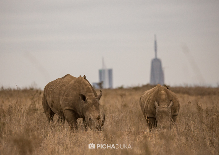 Rhinos in Nairobi National Park on 11th August 2017.