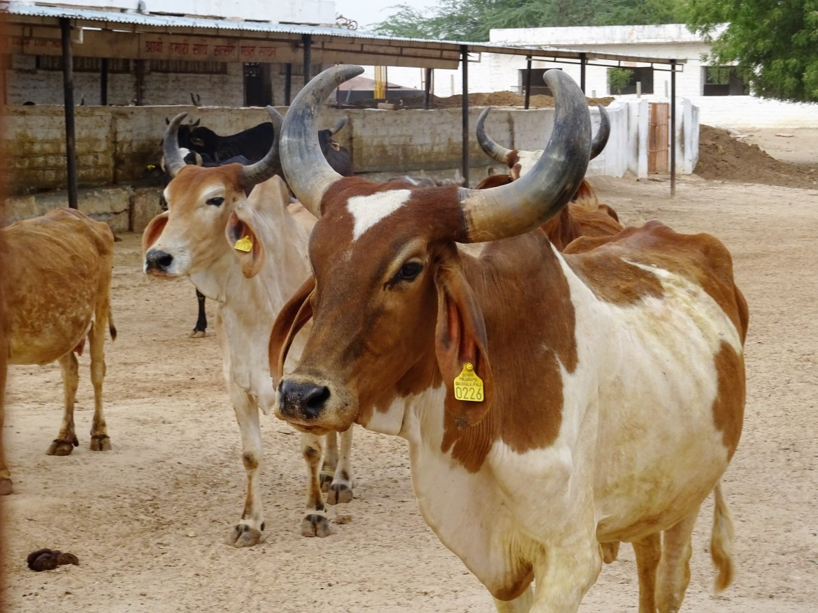Vaches inde Salawas
