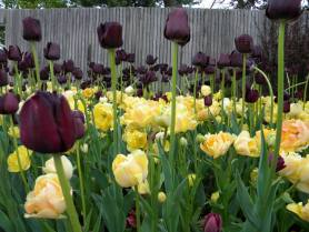 PHOTO: Tulipa 'Queen of the Night' and Tulipa 'Orange Angelique'.