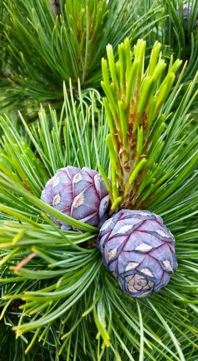 PHOTO: Pinus cembra 'Blue Mound'.